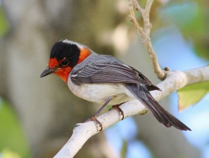 The Red-faced Warbler is one species affected by the climate driven changes in elk behavior
