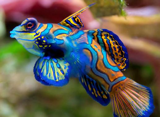 mandarin_fish